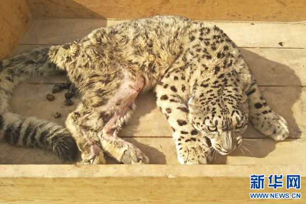 Injured snow leopard recovers in NW China