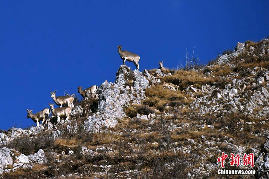 Tibetan antelopes wandering on Plateau, as Olympic mascots celebrate birthday