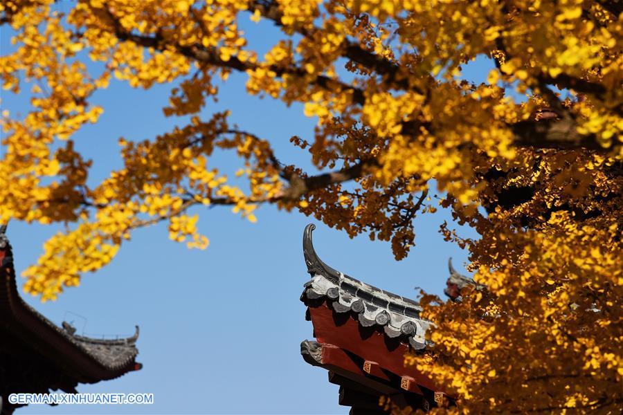 1300-Jahre alte Gingkobäume im Taiping-Tempel in der Stadt Jiaozhou