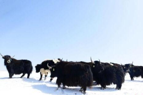 Chinas komplettester Genpool des Yaks in Tibet erstellt