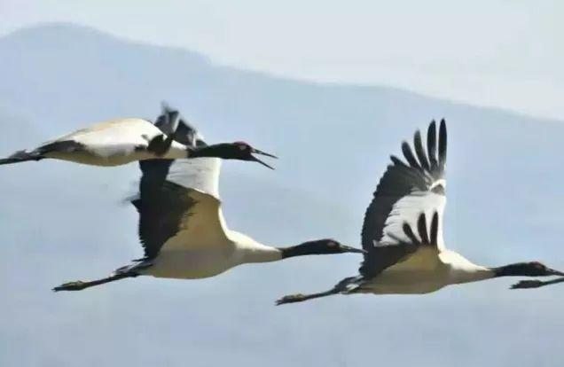 """黑颈鹤的""""菜单""""曝光?揭秘高原神鸟"""