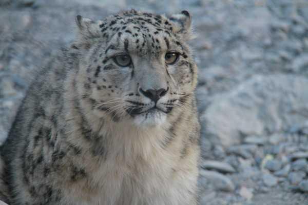 Qinghai bewältigt Schwierigkeiten bei der Zucht von Schneeleoparden
