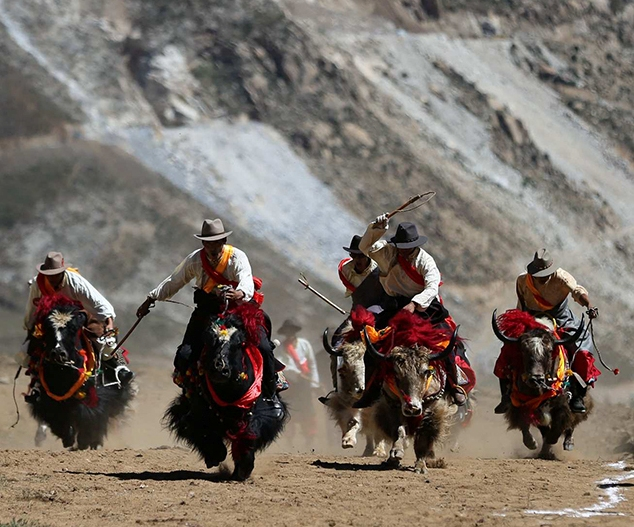 Tibet builds China's most complete yak gene pool