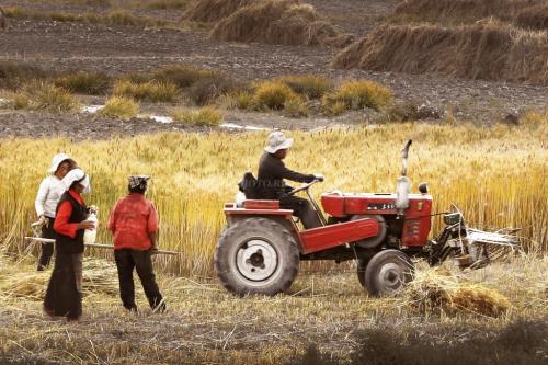 日喀则市青稞增产:丰收之年,农民满了粮仓鼓了钱袋
