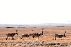可可西里野生动物群集体觅食