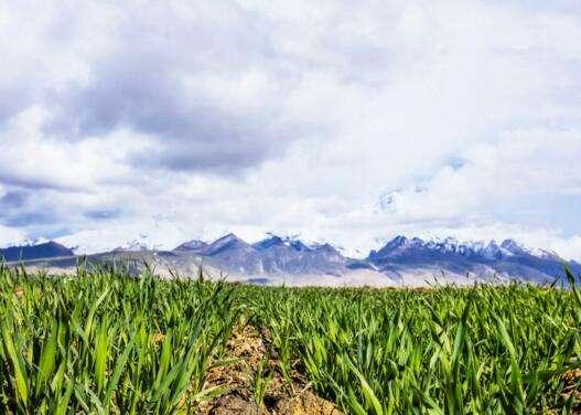 阿里地区绿麦草试种成功
