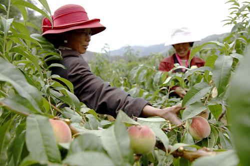 Probeanbau des Lümai--Grases erfolgreich