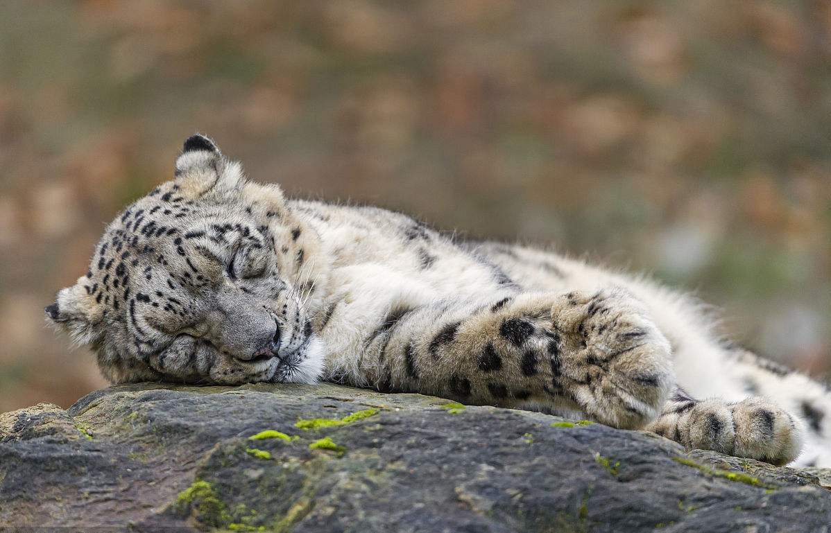 Injured snow leopard receives successful surgery in NW China