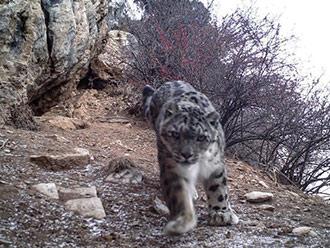 西藏东部监测到雪豹母亲带幼崽影像