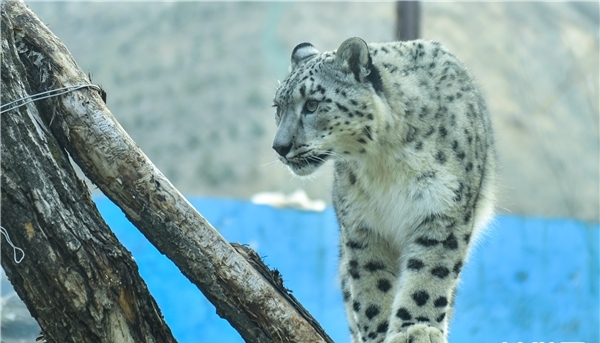 Qinghai tackles snow leopard breeding problems