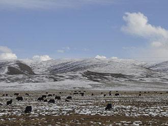 冬日牧区美景 雪山牦牛构成壮美画卷