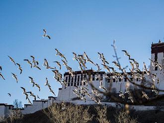 拉萨宗角禄康公园 城市里的候鸟天堂