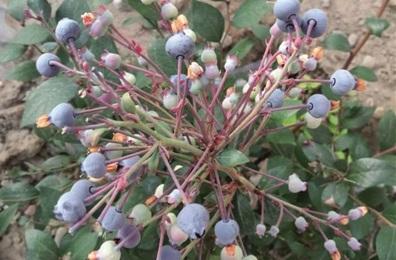 才纳乡的蓝莓熟啦 等你来采摘