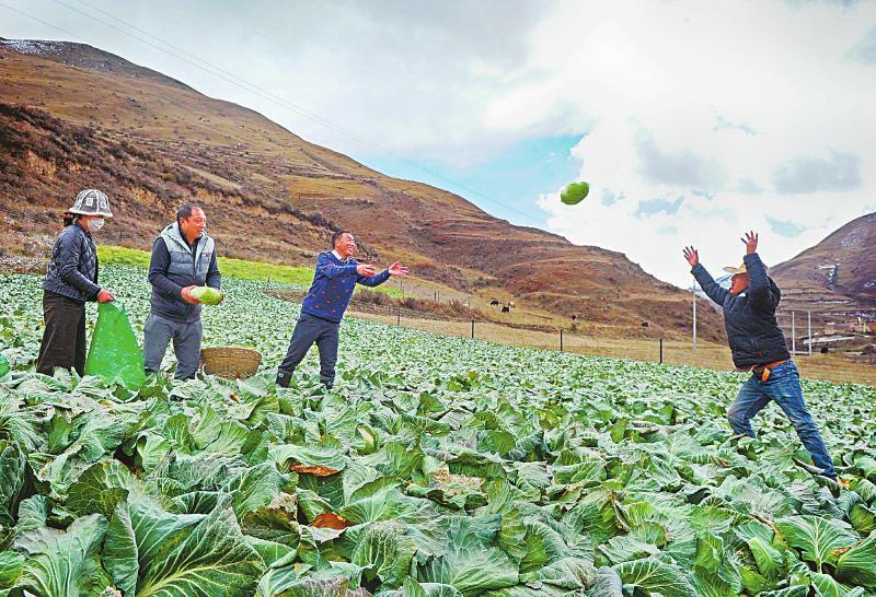高原有机蔬菜助农增收