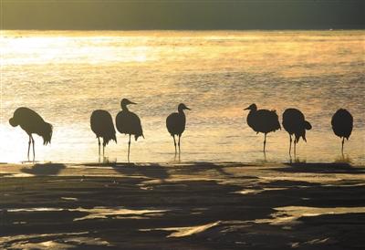 晨曦中的黑颈鹤