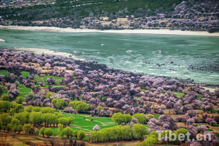 Blütezeit in Nyingchi beginnt in einem Monat