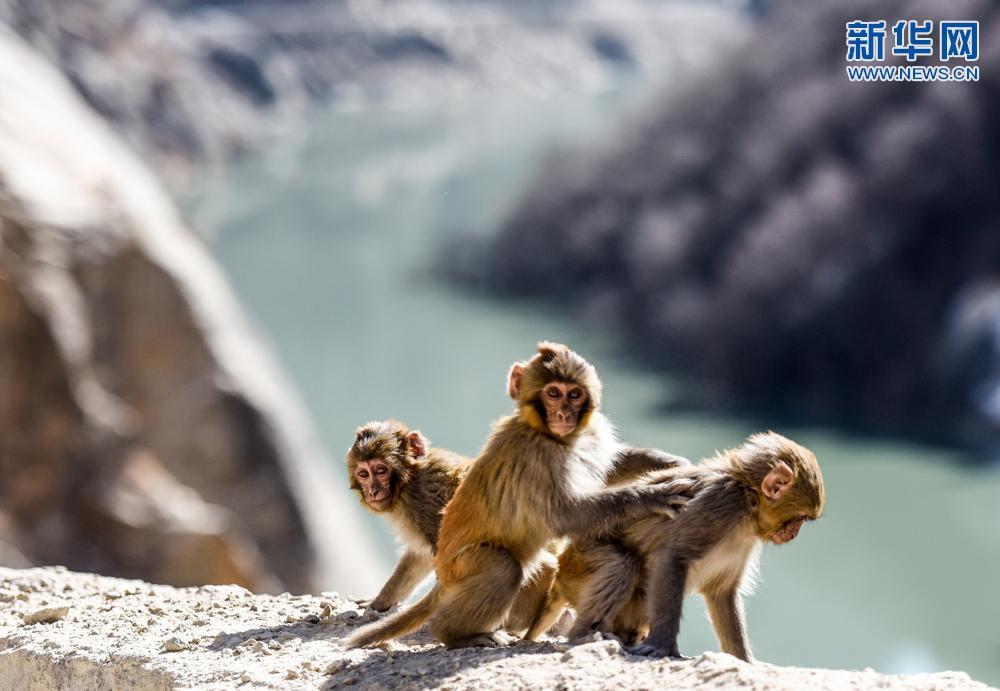 Tibetan Macaque in Dagu Valley