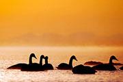 大天鹅沐浴在青海湖