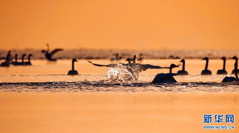 Whooper swans bathe in Qinghai Lake