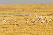 在可可西里遇见藏羚羊