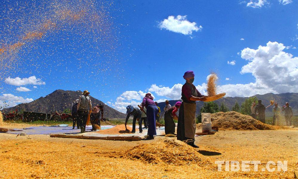 青藏高原上,正在忙着享受秋收快乐的村民。