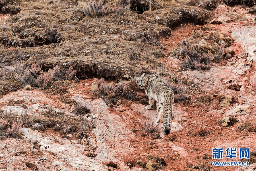 Snow leopards pictured in Yushu,Qinghai