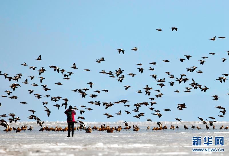 Nearly 10,000 ruddy shelducks migrant to Qinghai Lake