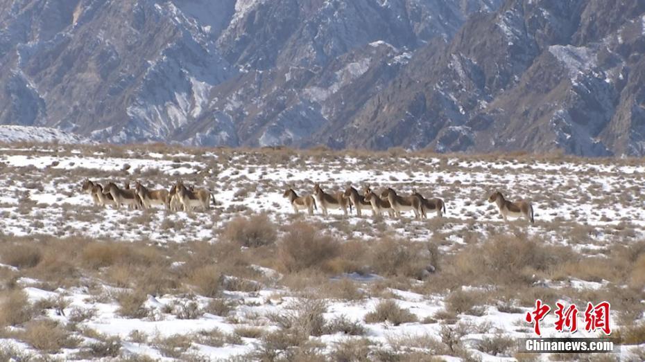 Hundert Tibet-Wildesel in Aksay