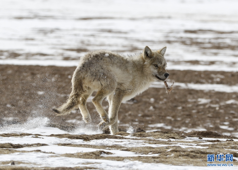 Wolves on the Qinghai-Tibet Plateau