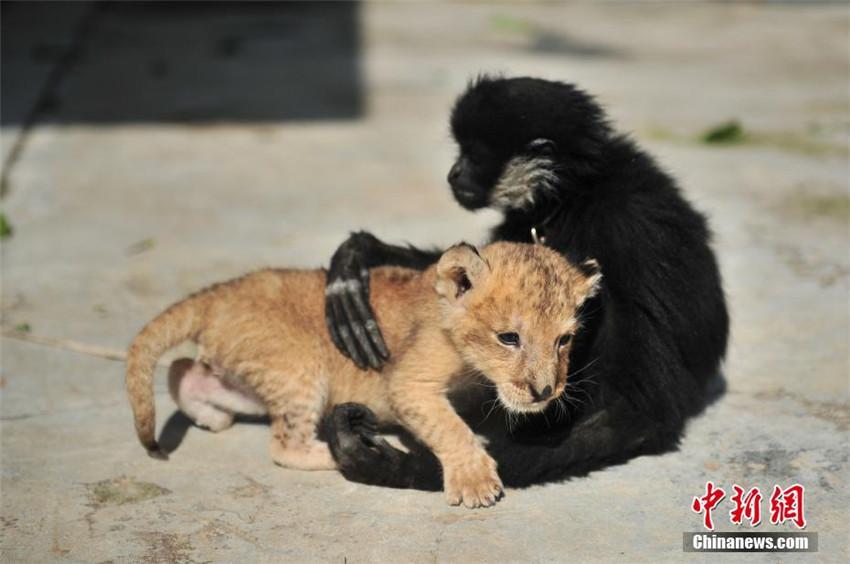 Yunnans Zoo erhält ein Löwenbaby