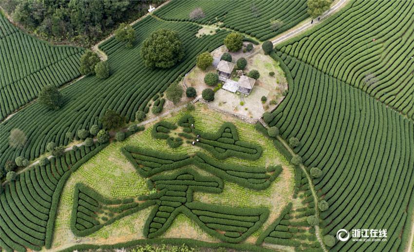 Frühlingsernte des Longjing-Tees beginnt