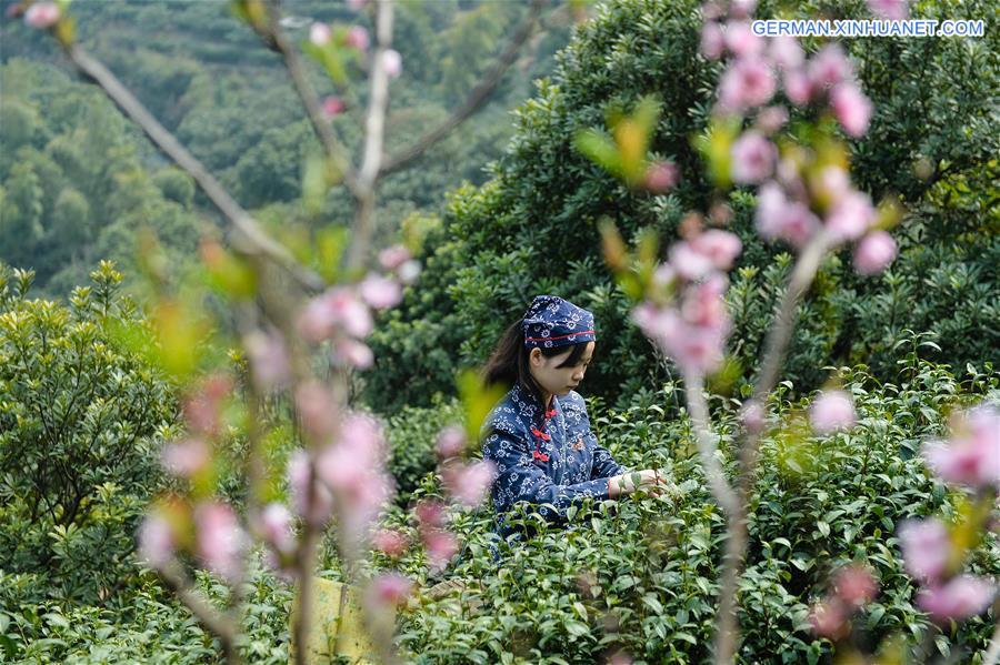 Erntezeit für Biluochun-Tee in Suzhou