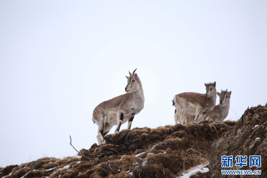 Almost 1,000 Bharals seen in Qinghai
