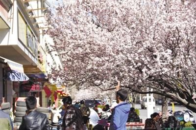 """""""樱花""""树下的茶馆有景有味"""