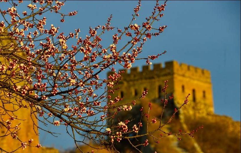 Aprikosenblumen in Blüte beim Abschnitt Jinshanling der Großen Mauer