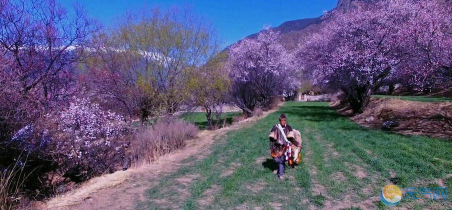 西藏林芝桃花开 花海徜徉醉美人间