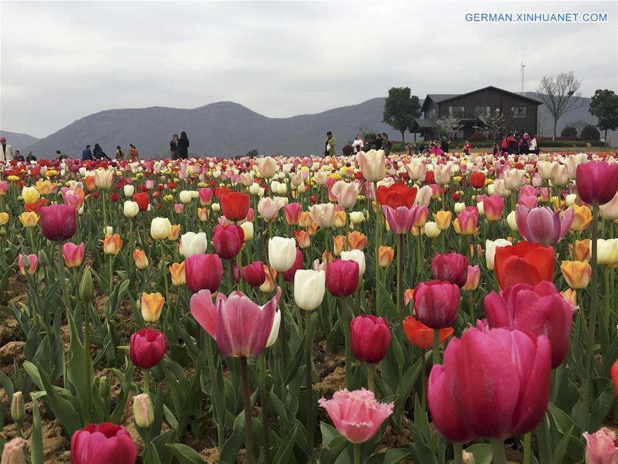 Tulpen erblühen in Chaohu