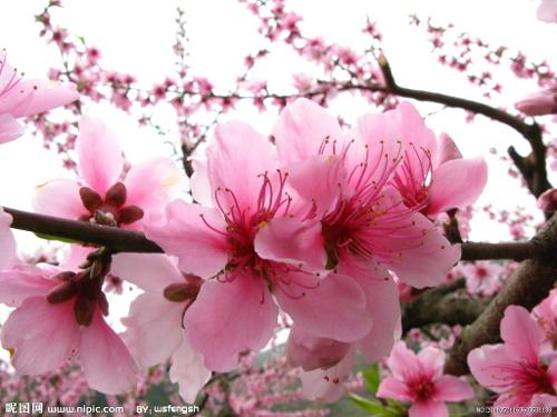 H5|林芝桃花节 摘桃花小游戏