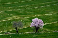 林芝波密:中国最大的桃花谷