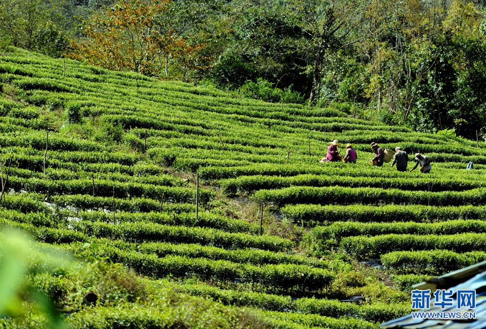 Villagers busy with tea harvest in Metok