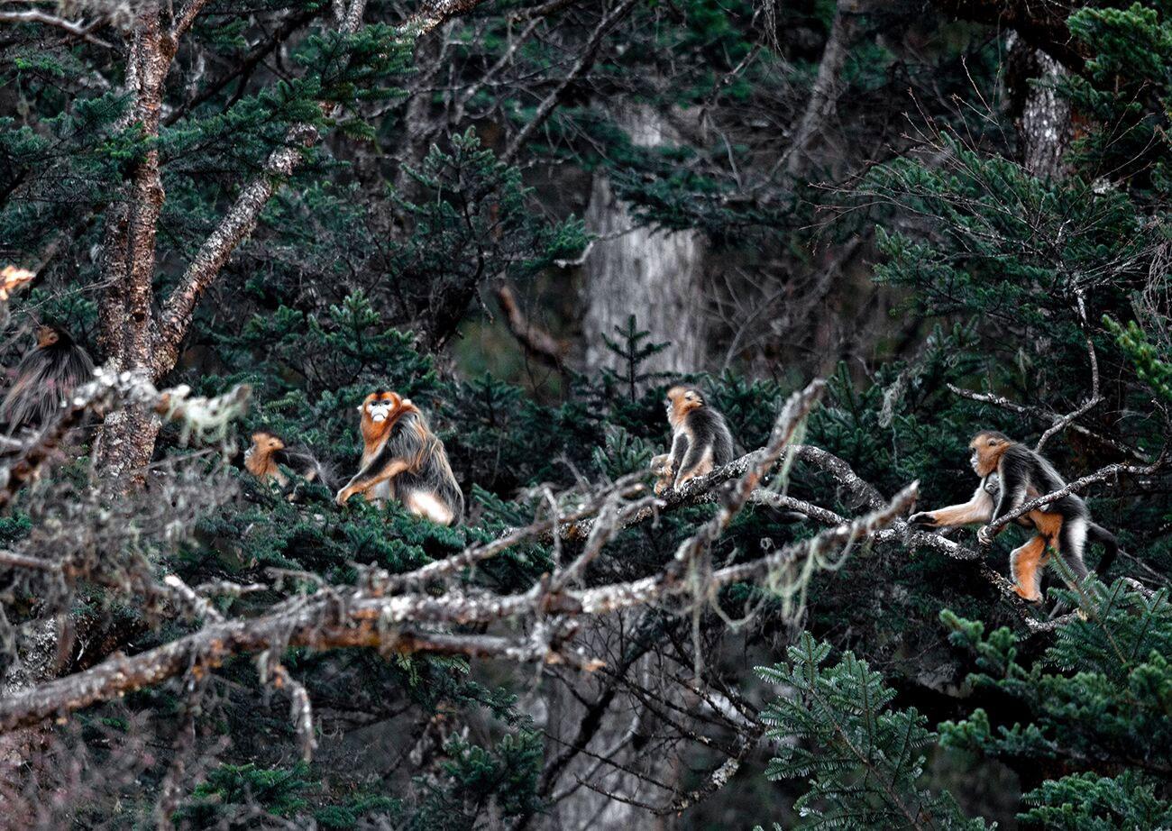 四川发现野生金丝猴群