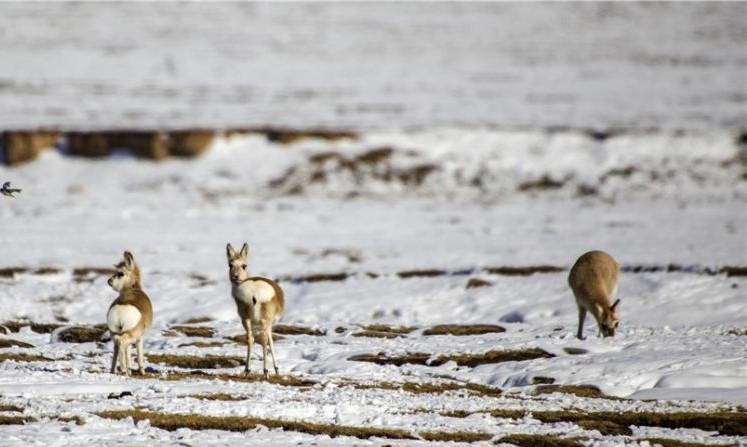 """Gansu-Grasland wird nach Schnee zum """"Königreich der Tiere"""""""