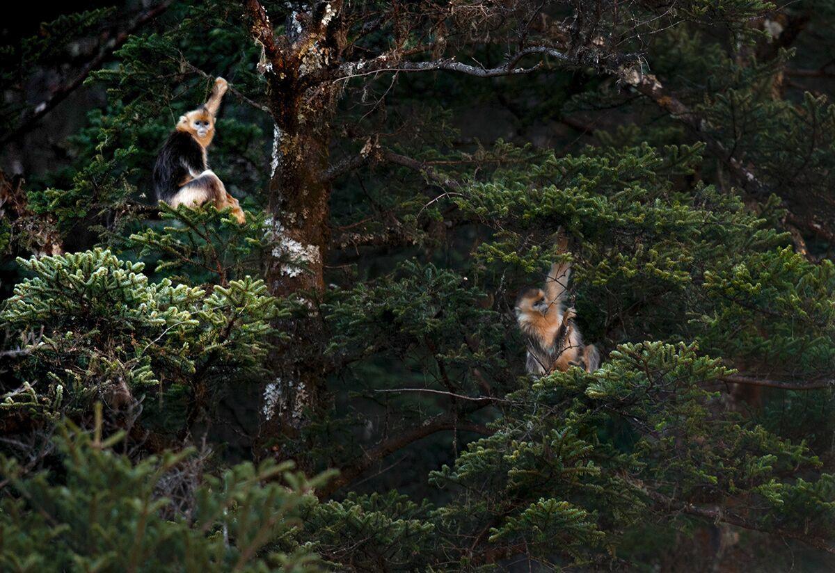 Wilde Goldstumpfnasen in Sichuan gesichtet