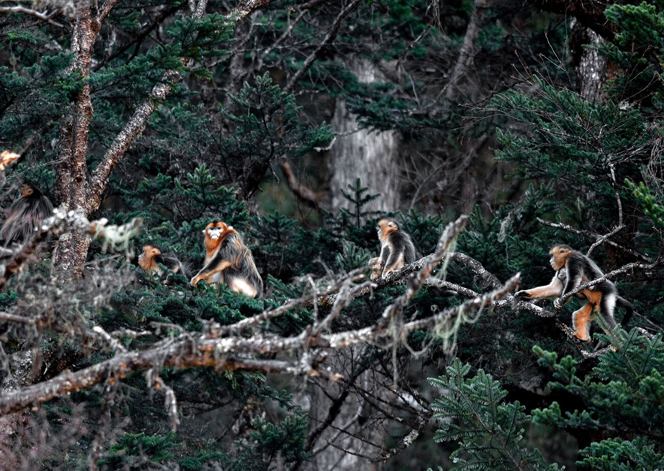 Wild golden monkeys photographed in Sichuan
