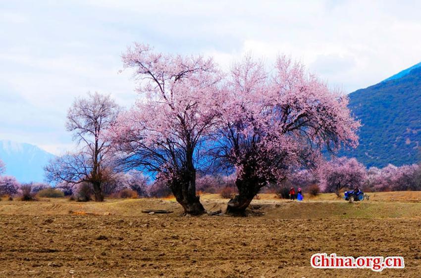Pfirsichblüte in Nyingchi in Tibet