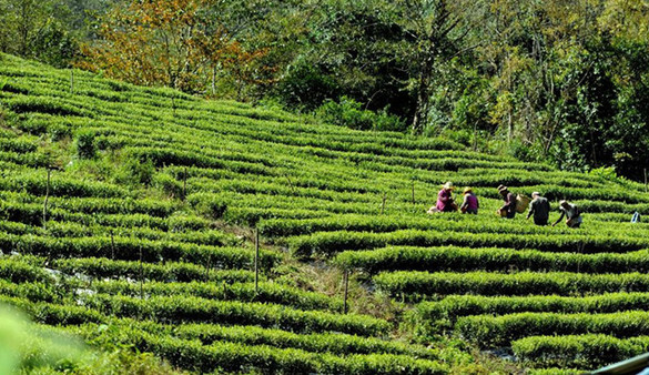 Tibet: Bauern ernten Tee in Mêdog