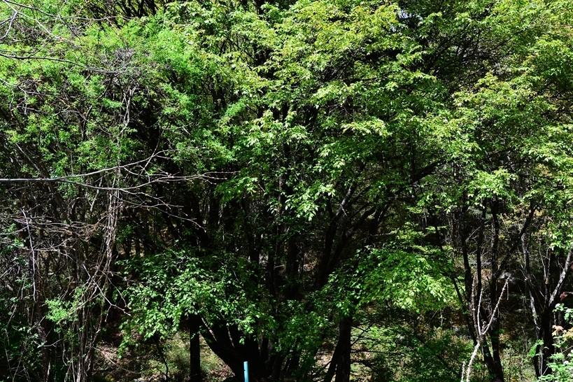 1000-jähriger Riesen-Kirschbaum in Jiuzhaigou gefunden
