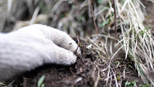 进入虫草采挖季