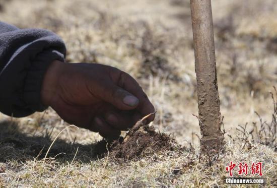 Experiencing cordyceps digging in Lhasa