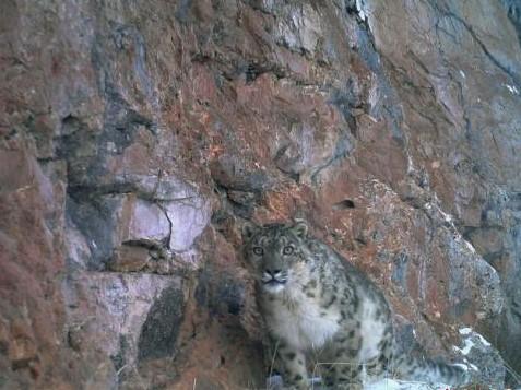 Schneeleoparden-Junge in Yushu gefunden